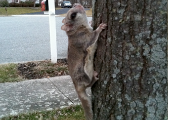 Elizabethtown Squirrel Removal